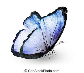 azul, mariposa, blanco, aislado