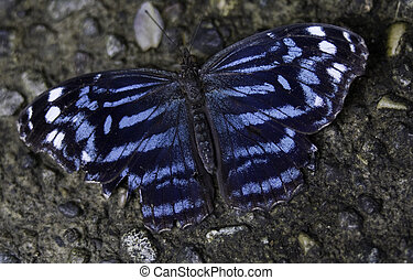 azul, mariposa, real
