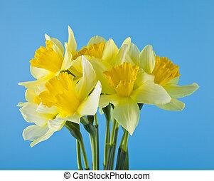 azul, narcissus, flores, fundo, amarela