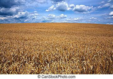 azul, nubes, encima, campo de cielo, maíz blanco