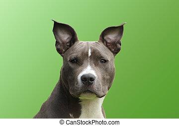 azul, olhar, cão, staffordshire, jovem, americano, tocar,...