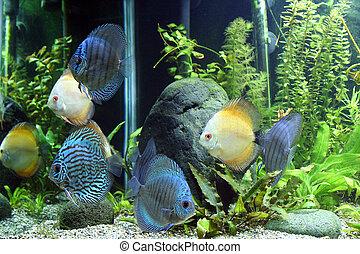 azul, peces de naranja, disco, acuario