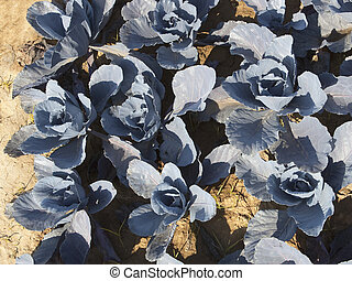 azul, plantas, col