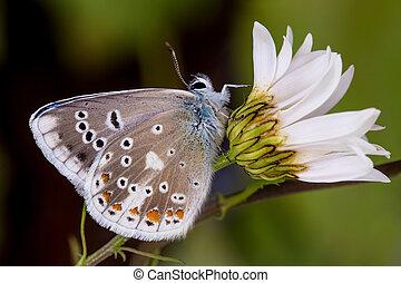 azul, (polyommatus, turquesa, dorylas)