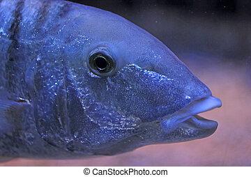 azul, primer plano, pez
