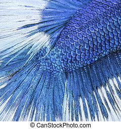 azul, primer plano, siamés, pez, -, lucha, piel