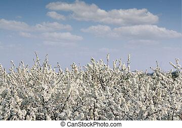 azul, ramas, primavera, árbol, flores, cielo