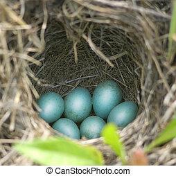 azul, robin, huevos, en, su, nido