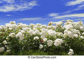 azul, rosas, cielo blanco