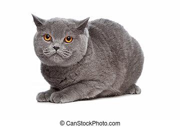 azul, shorthair, británico, gato