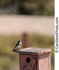 azul, tachycineta, pájaro, bicolor, golondrina de árbol