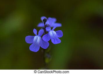 azul, toadflax