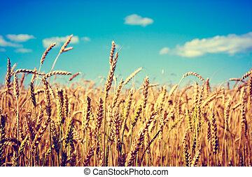 azul,  toned, trigo, cielo, foto, orejas