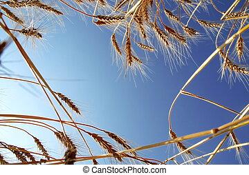 azul, trigo, cielo, maduro, contra