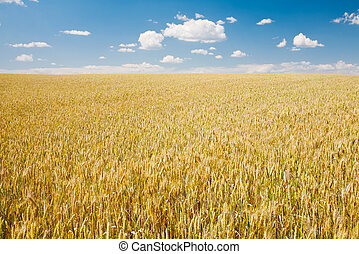 azul, trigo, maduro, cielo, contra, paisaje