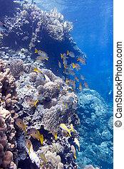 azul, tropical, mar, fondo, coral, agua, porites, arrecife, ...