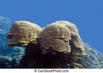 azul, tropical, mar, fondo, coral, grat, agua, porites, ...