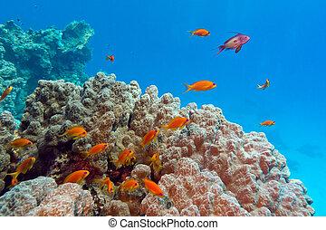 azul, tropical, plano de fondo, fondo, coral, anthiases, ...