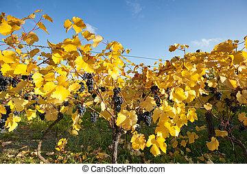 azul, uvas, con, permisos amarillos