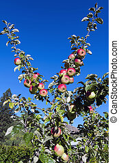 azul, zelândia, ramos, céu, contra, arrowtown, maçãs, novo, crescer, vermelho