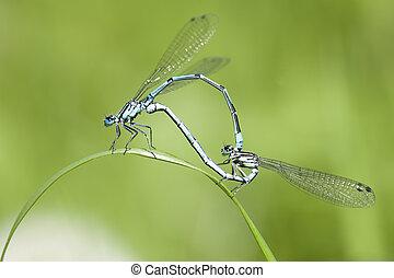 Azure Damselfly - mating