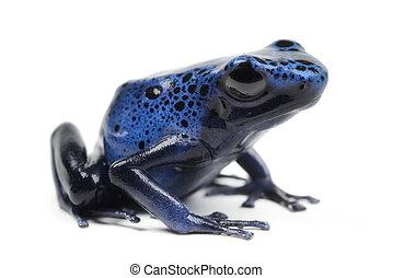 Azure Poison Dart Frog on white background.