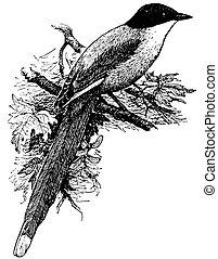 azure-winged, pájaro, urraca