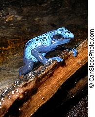 Azureus Poison Dart Frog