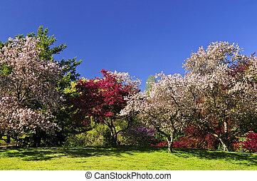 azzurramento, alberi frutta, in, primavera, parco
