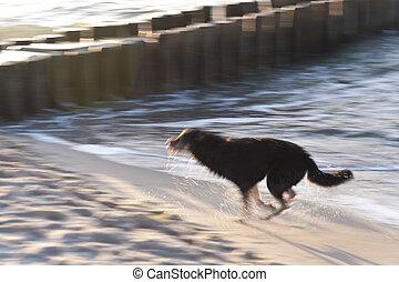báltico, cão, mar, tocando