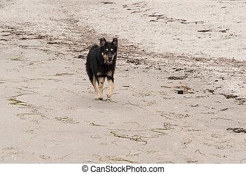 báltico, praia, cão, mar, tocando