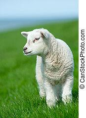bárány, csinos, eredet