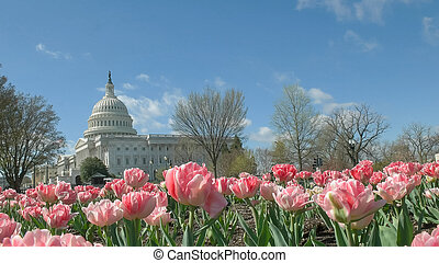 bâtiment, rose, capitole, tulipes, washington dc, nous