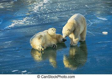 bã¤ren, polar, spielende