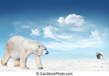 bã¤ren, polar, (ursus, maritimus)