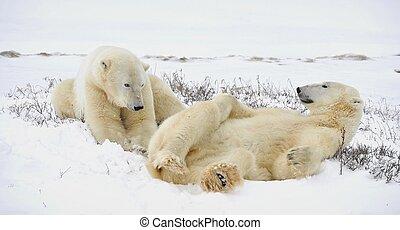 bã¤ren, polar, zwei, haben, rest.