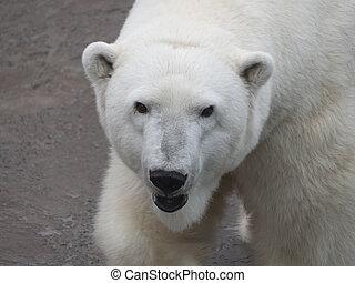 bär, maritimus, ursus, polar, tag sonnig