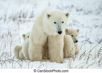 bär, polar, cubs., junge, she-bear, zwei, snow., klein