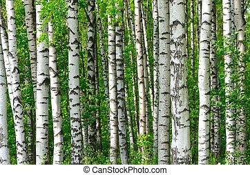 bäume, in, der, birke, holz
