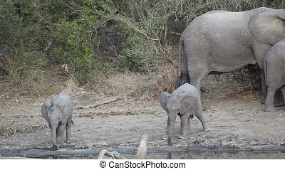 bébé, éléphants africains