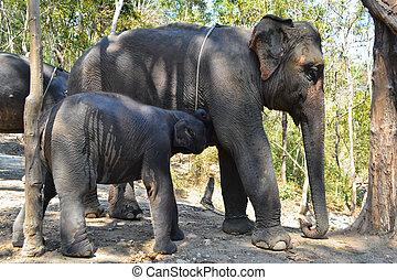 bébé, allaiter, lait, asie,  Éléphant