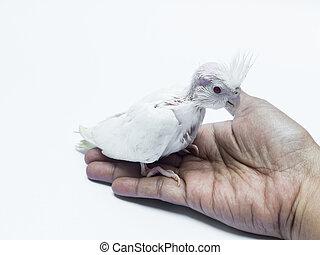 bébé, cacatoès, chouchou, oiseau