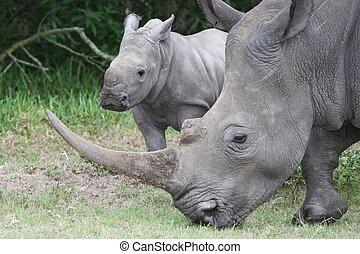 bébé, c'est, rhinocéros, mère