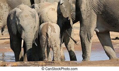 bébé, eau, boire, éléphant