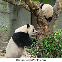 bébé, géant, arbre., sur, panda