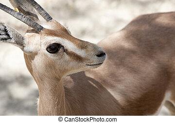 bébé, gazelle