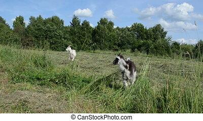 bébé, goatling, chèvre