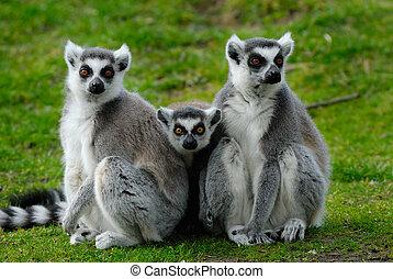 bébé, lemur, parents, sonne-tailed