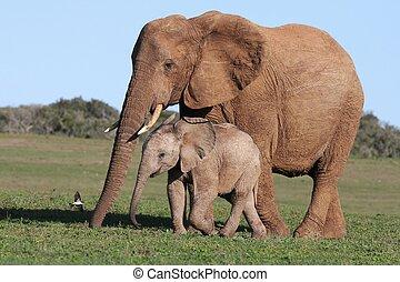 bébé, maman, éléphant africain