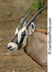 bébé, oryx